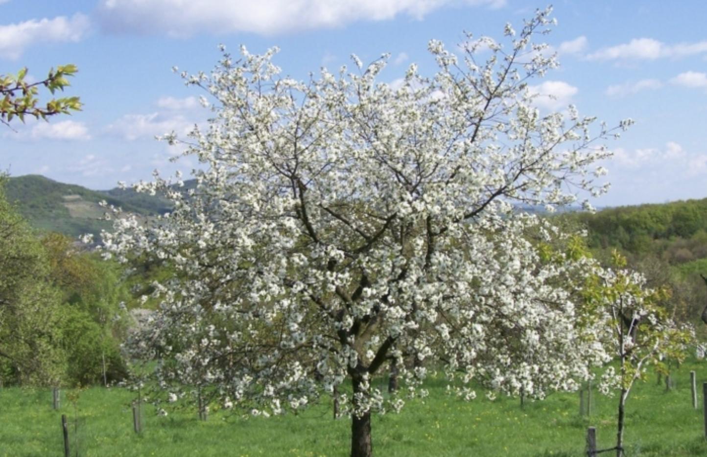 Marillenbaum